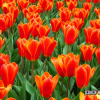Tulp Worlds Favourite